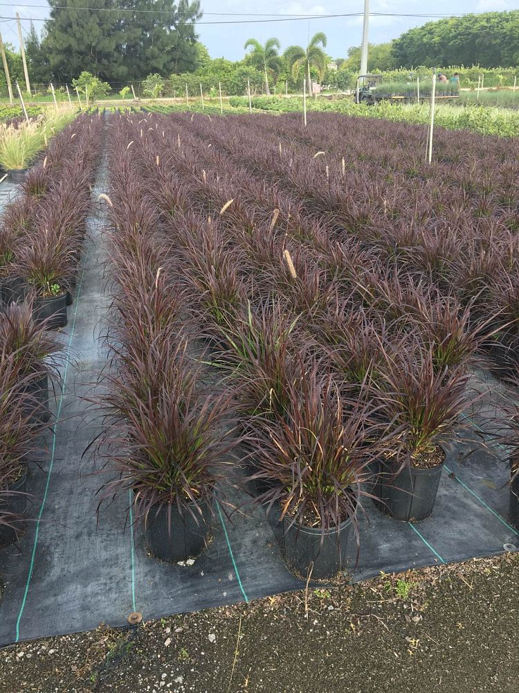 pennisetum-advena-rubrum-fountain-grass-red