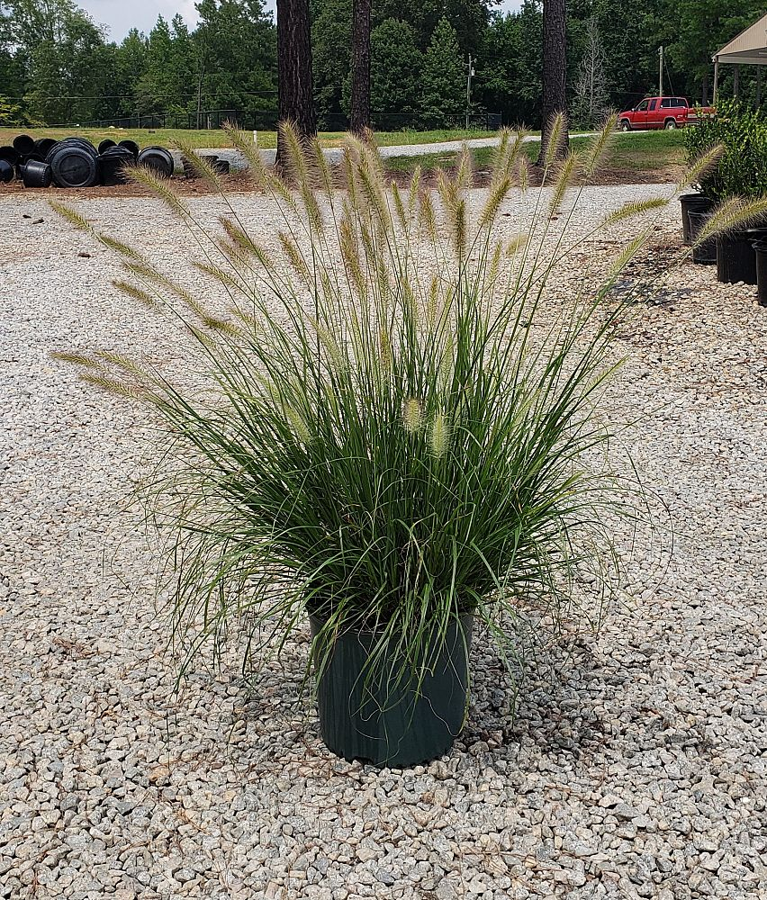 pennisetum-alopecuroides-cassian-fountain-grass
