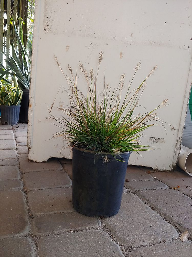 pennisetum-alopecuroides-little-bunny-fountain-grass