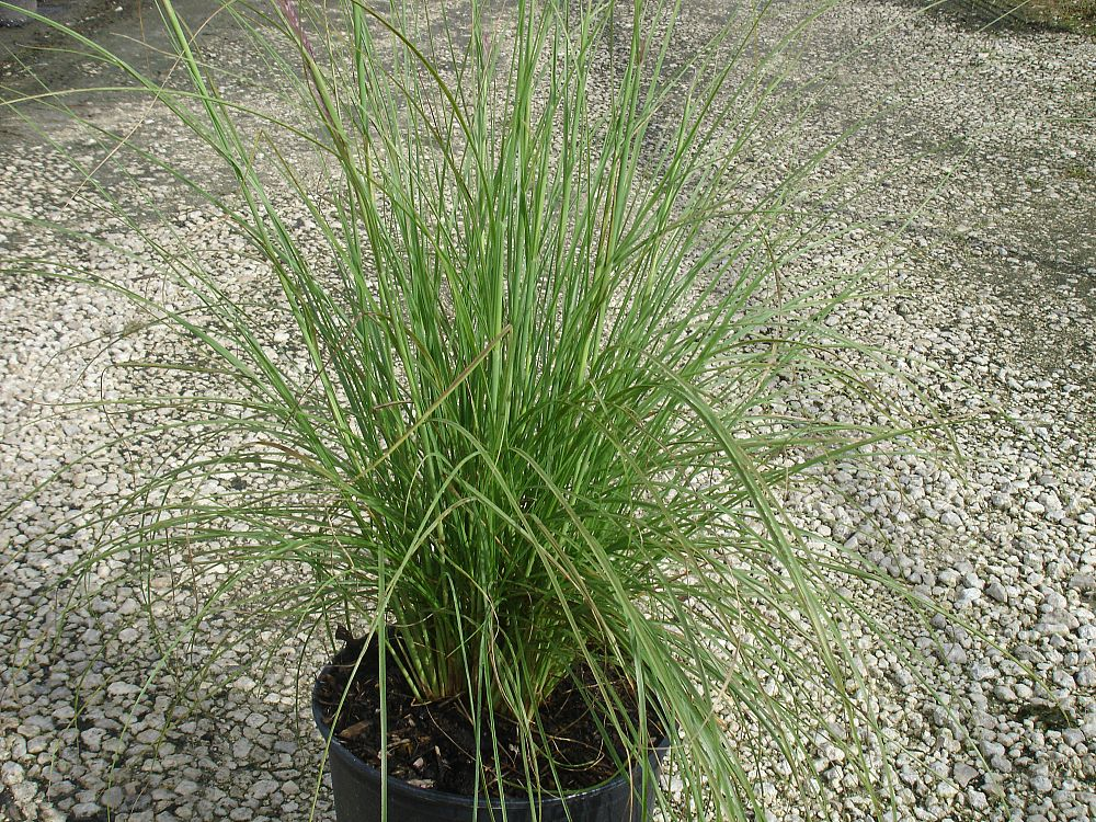 pennisetum-fountain-grass
