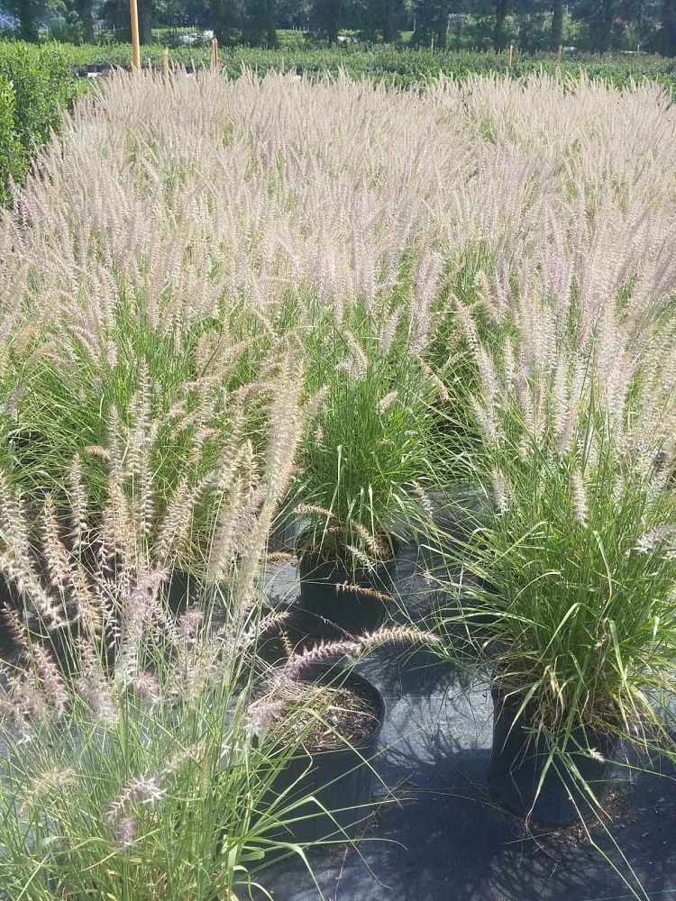 pennisetum-orientale-karley-rose-chinese-fountain-grass
