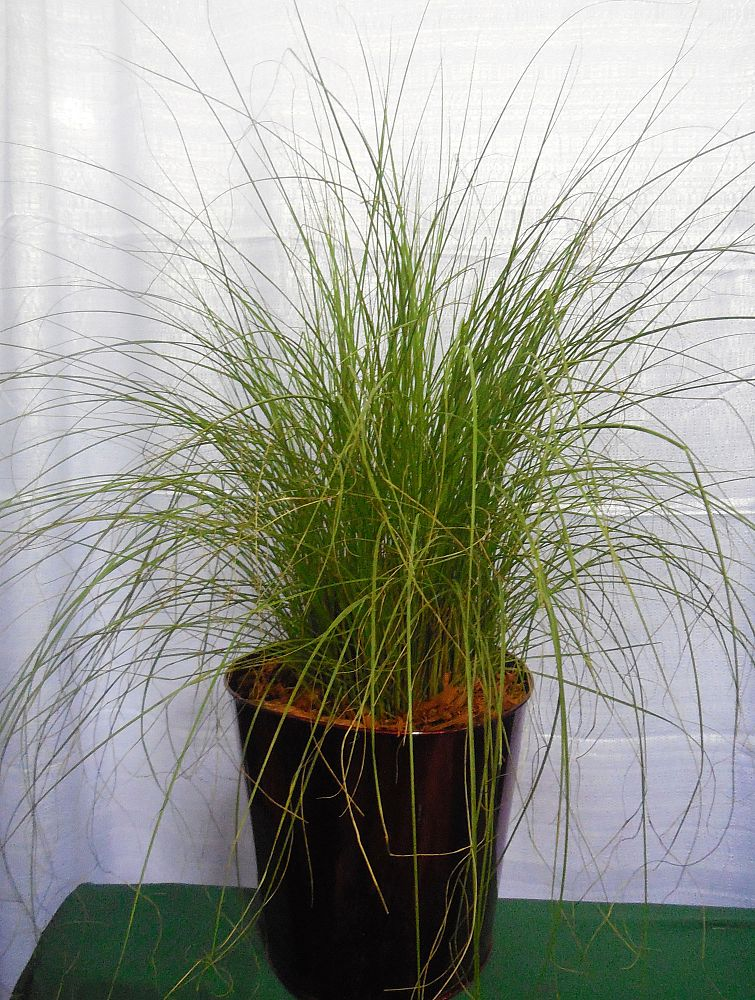 pennisetum-setaceum-alba-fountain-grass-white