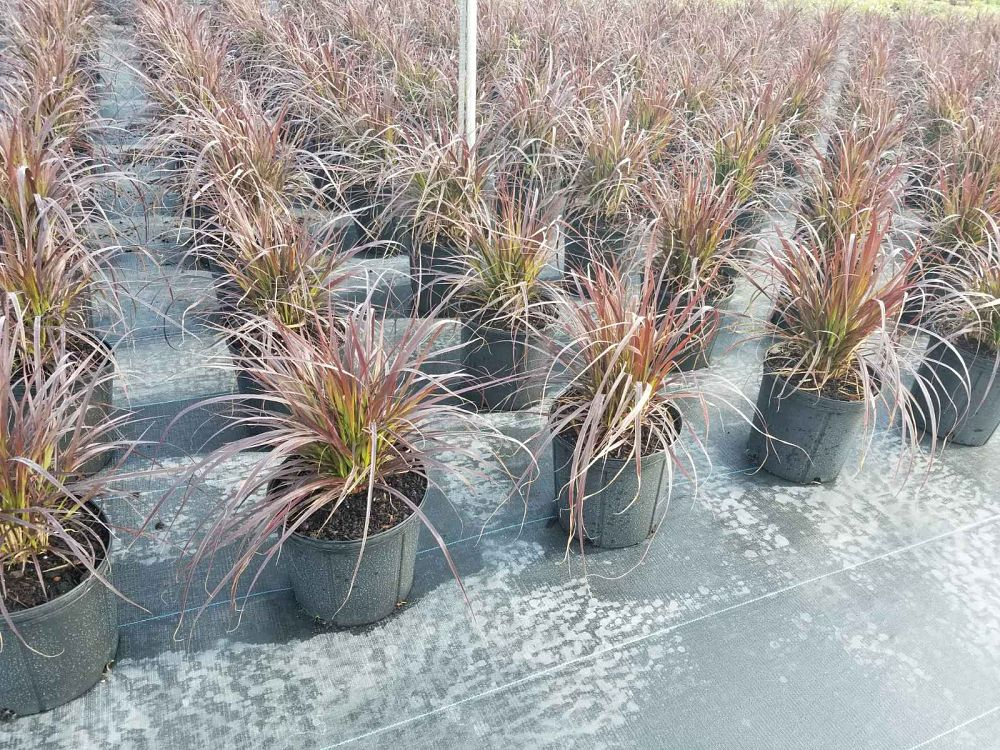 pennisetum-setaceum-cupreum-fountain-grass-red