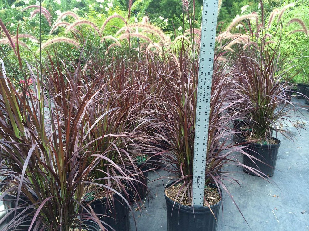Halbert 39 s nursery llc for Purple grass