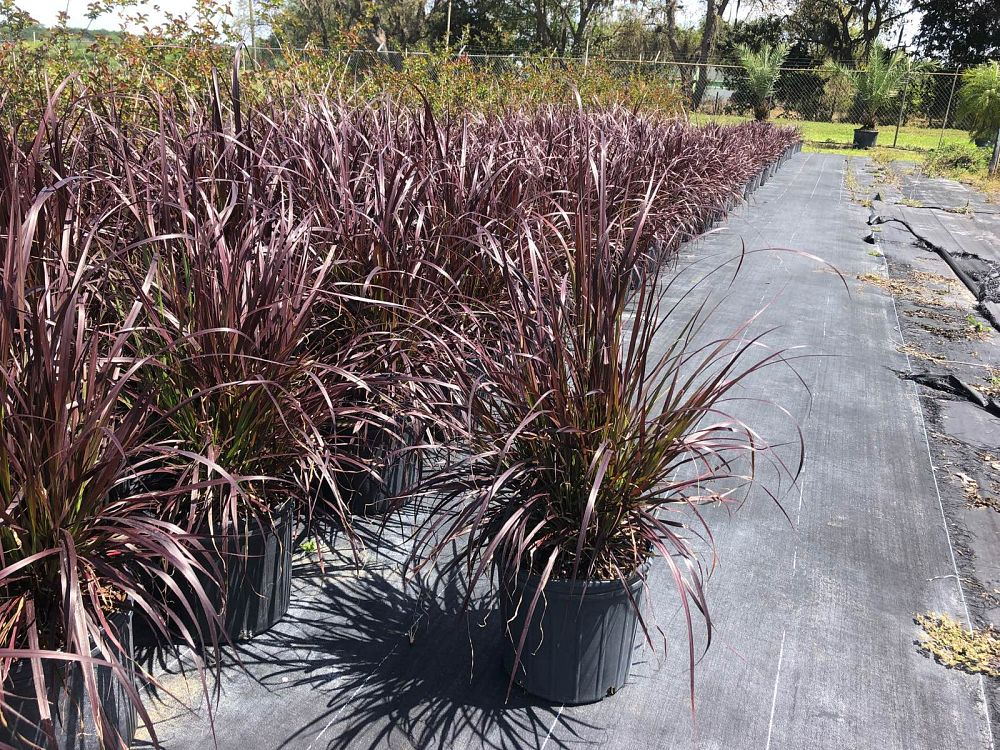 pennisetum-setaceum-rubrum-purple-fountain-grass-red-fountain-grass-pennisetum-advena-rubrum-pennisetum-setaceum-cupreum