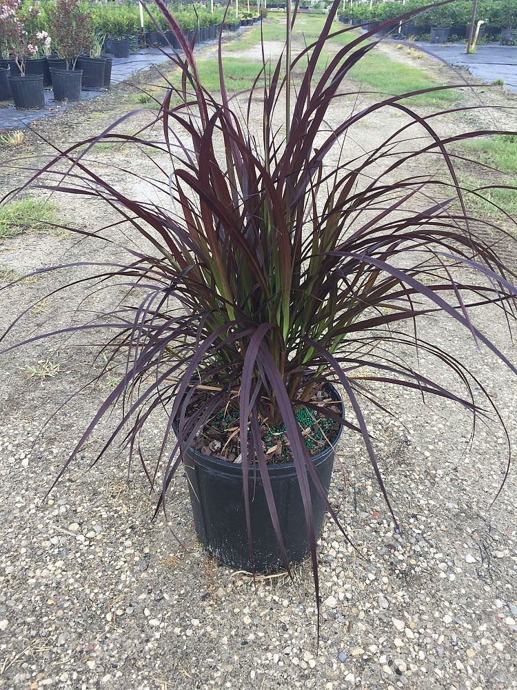 pennisetum-setaceum-rubrum-purple-fountain-grass-red-fountain-grass