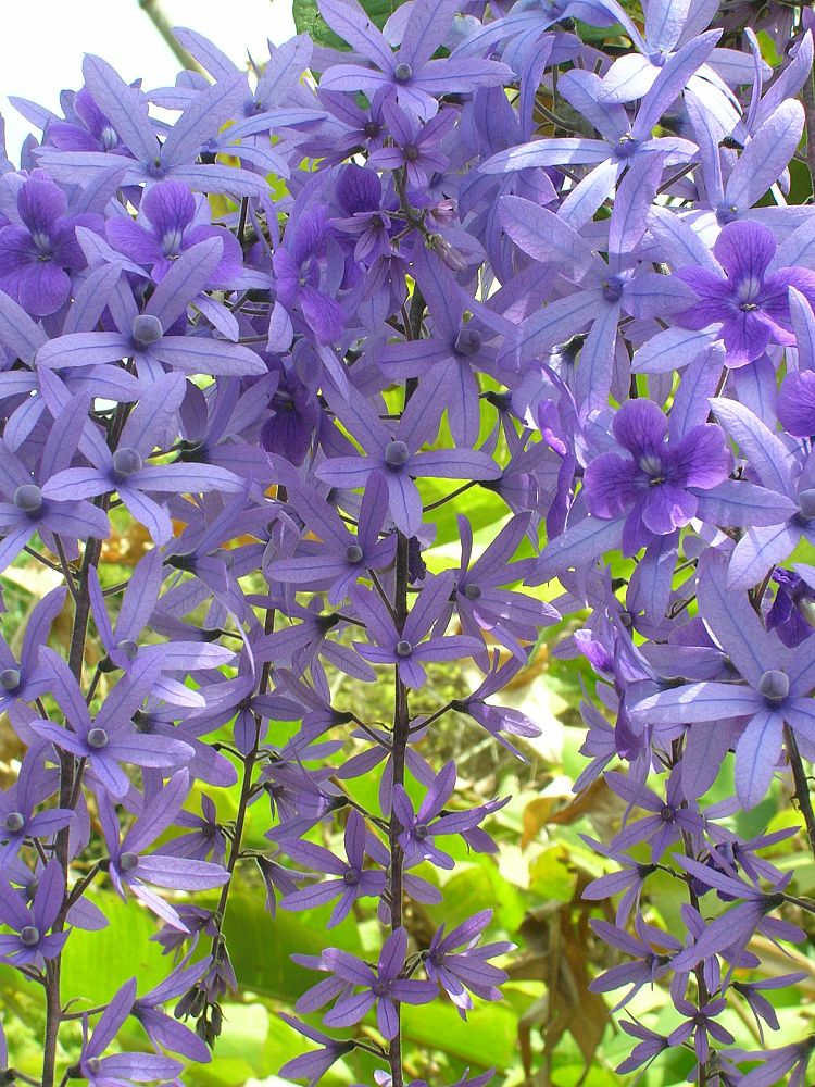 petrea-volubilis-purple-queen-s-wreath-vine