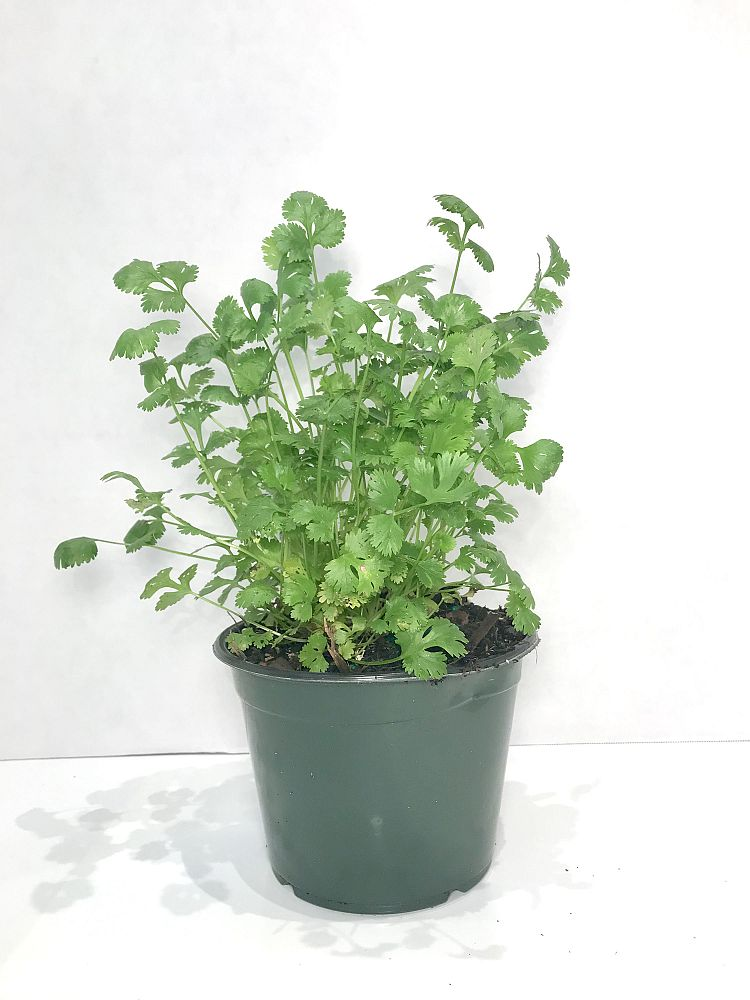 petroselinum-crispum-curly-parsley