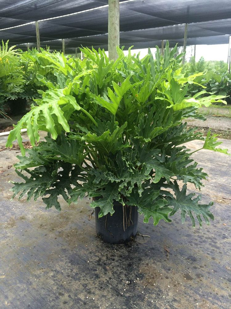 philodendron-bipinnatifidum-split-leaf-philodendron-philodendron-selloum-tree-philodendron