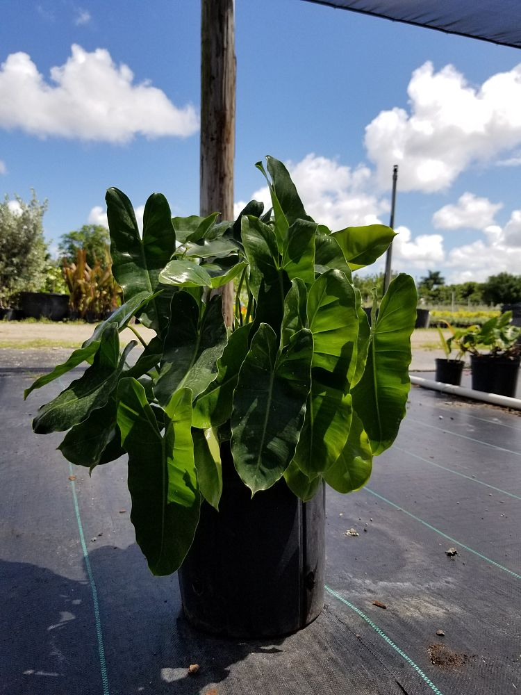 philodendron-burle-marx