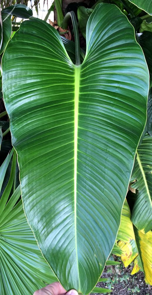 philodendron-davidsonii