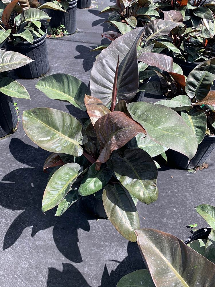 philodendron-erubescens-black-cardinal-red-leaf-philodendron-blushing-philodendron