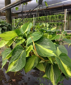 philodendron-hederaceum-brazil-heartleaf-philodendron