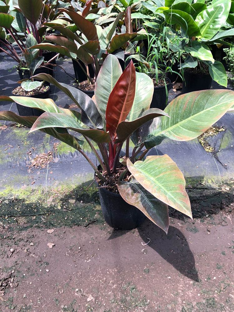 philodendron-imperial-red