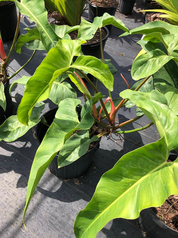 philodendron-mexicanum