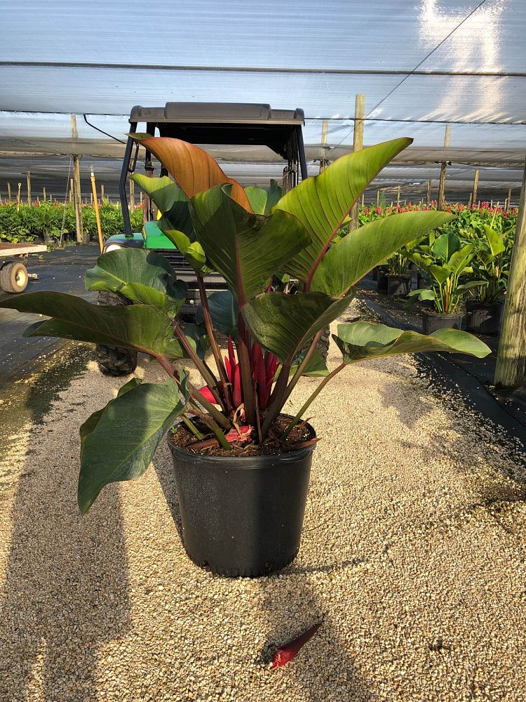 philodendron-rojo-congo-red-congo-philodendron