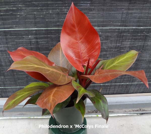 philodendron-x-mccolly-s-finale