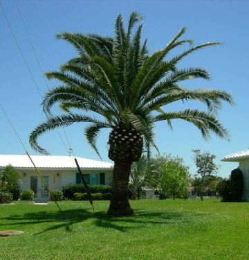 phoenix-canariensis-canary-island-date-palm-pineapple-palm