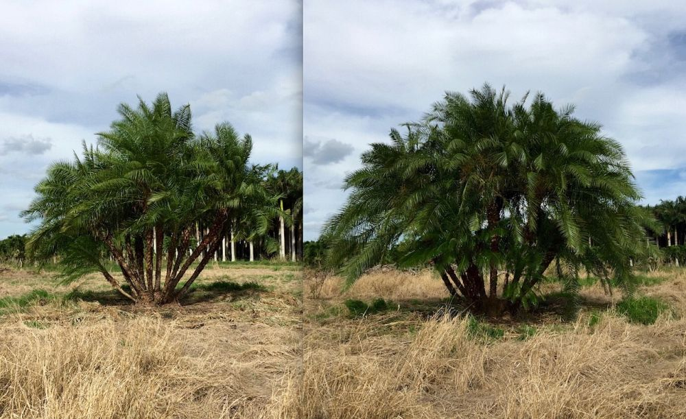 phoenix-canariensis-x-roebelenii-date-palm-hybrid-canary-x-roebelenii