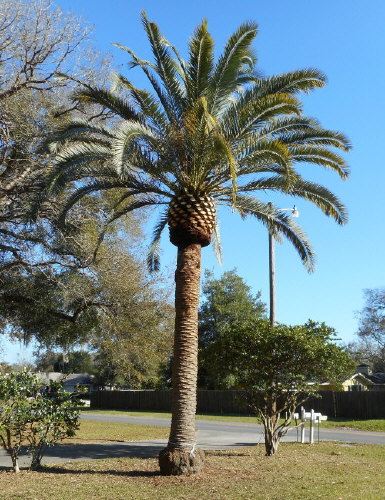 phoenix-canariensis-x-sylvestris-date-palm-hybrid-sylvester-x-canary