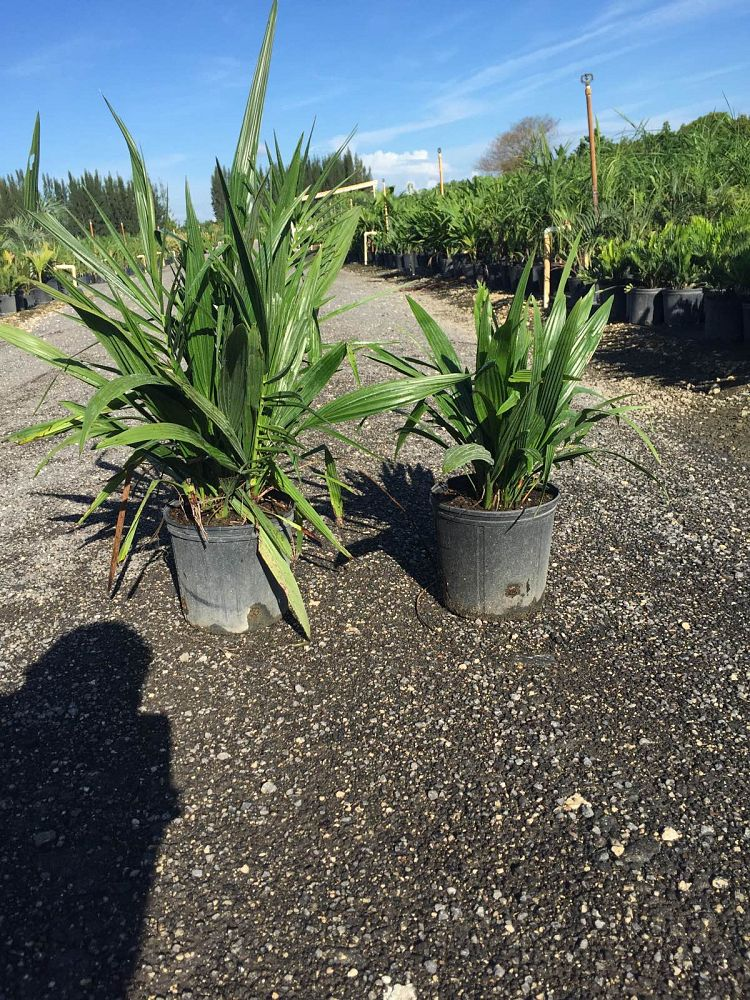 phoenix-reclinata-senegal-date-palm