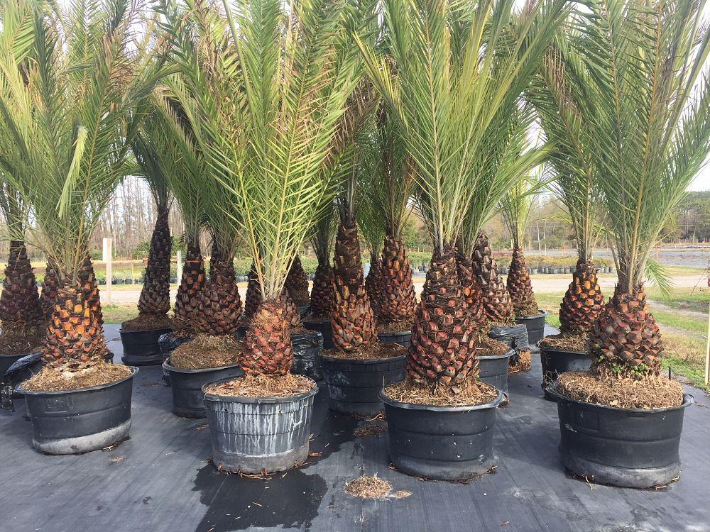 Pine Lake Nursery Plantant Com