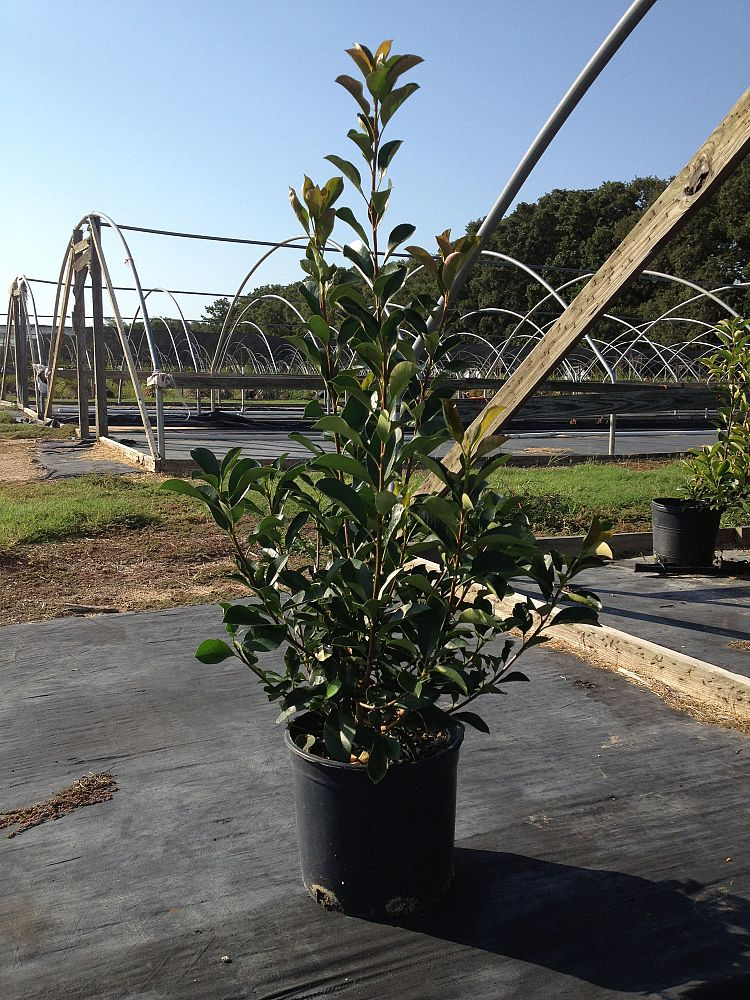 photinia-red-tips
