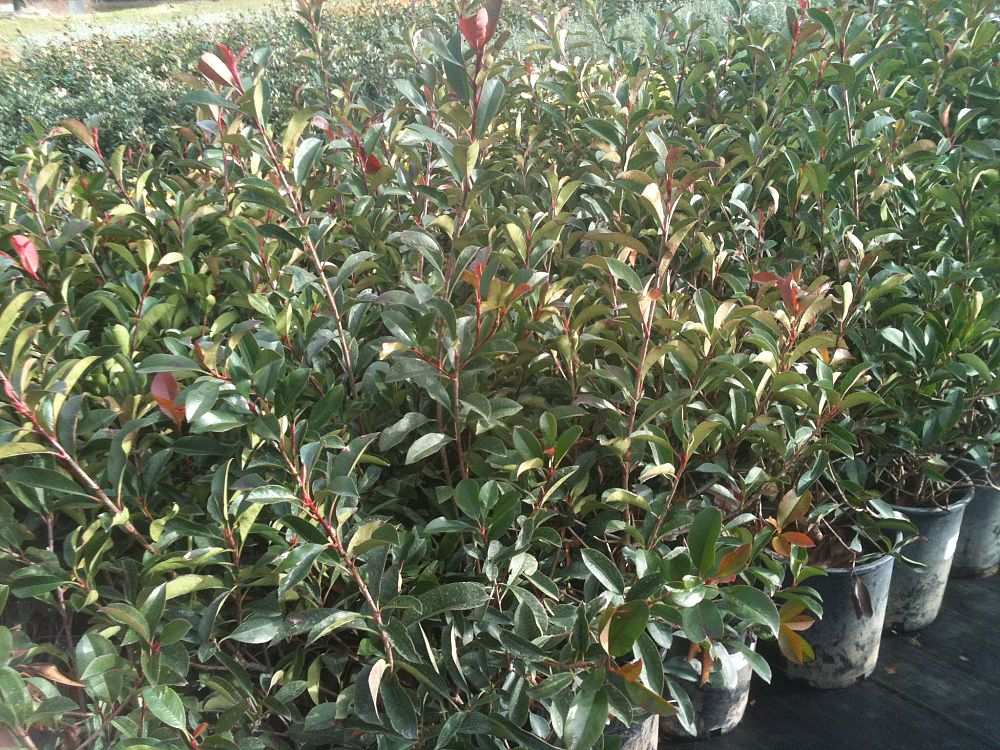 photinia-x-fraseri-red-tip