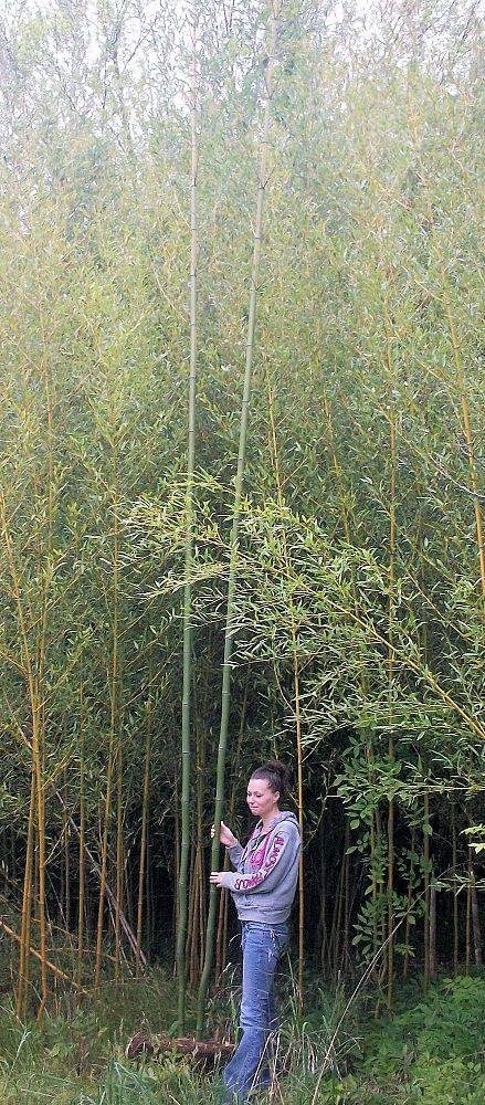 Nj Bamboo Landscaping: Cape May Bamboo