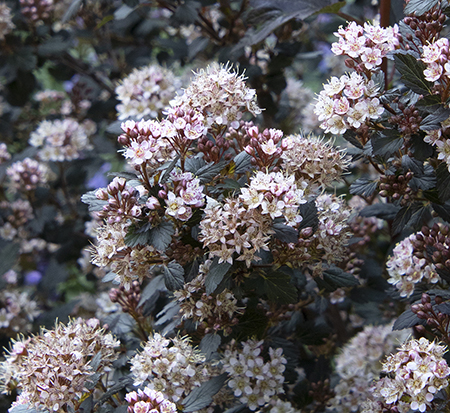physocarpus-opulifolius-little-joker-ninebark-hoogi021