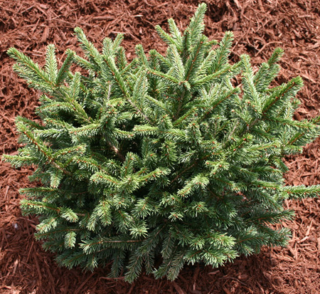 picea-abies-pumila-norway-spruce