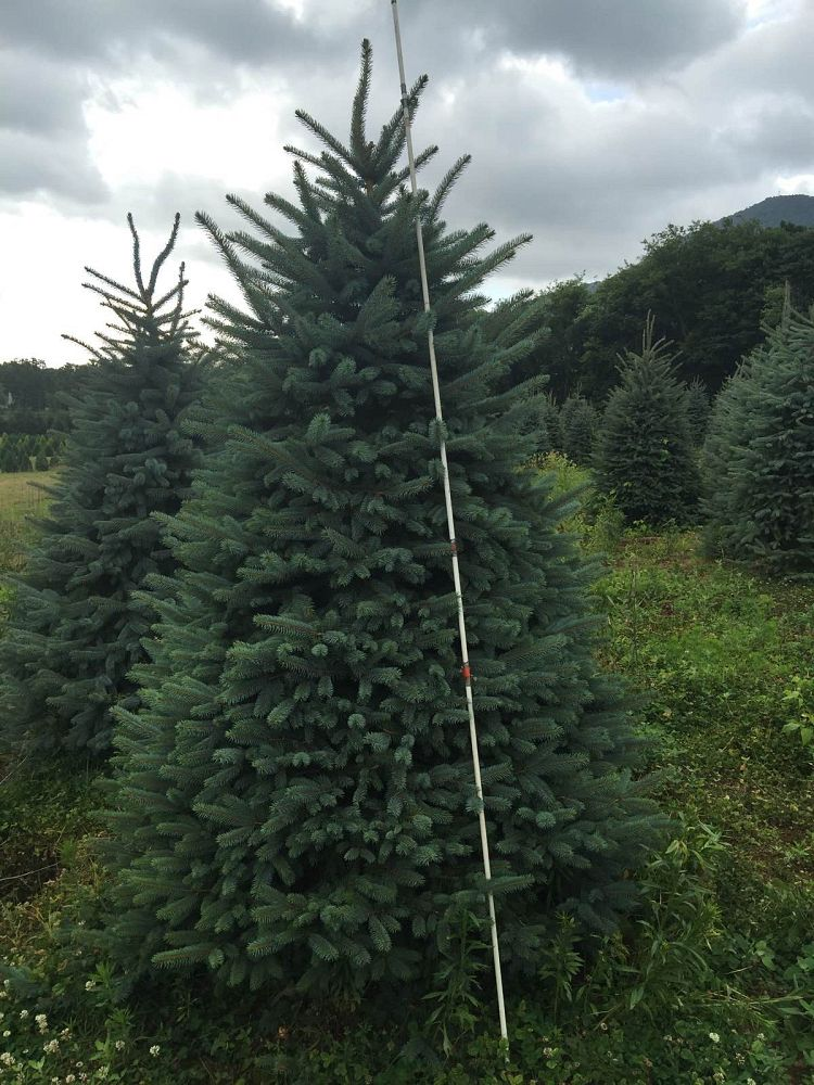 picea-pungens-blue-colorado-spruce