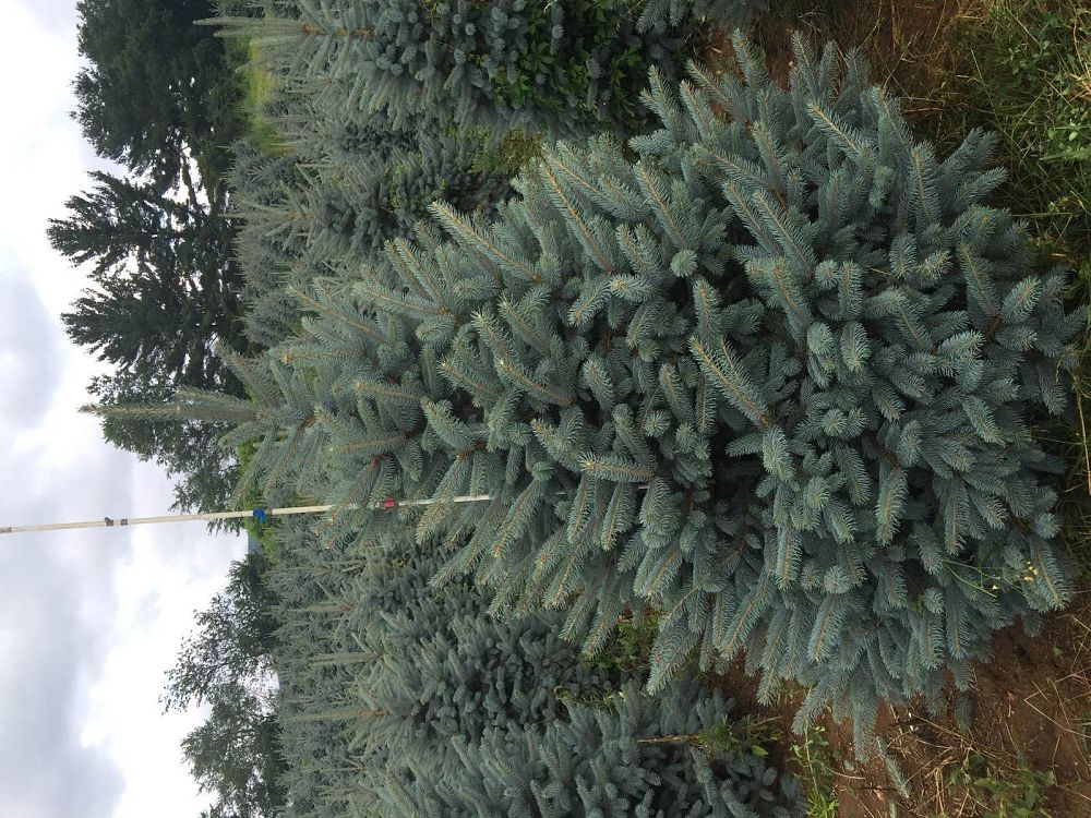 picea-pungens-fat-albert-blue-colorado-spruce