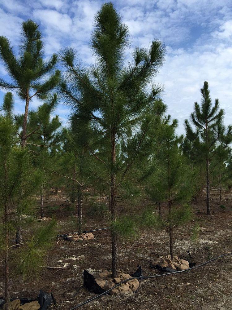 Spectrum Tree Farms Inc Plantant Com