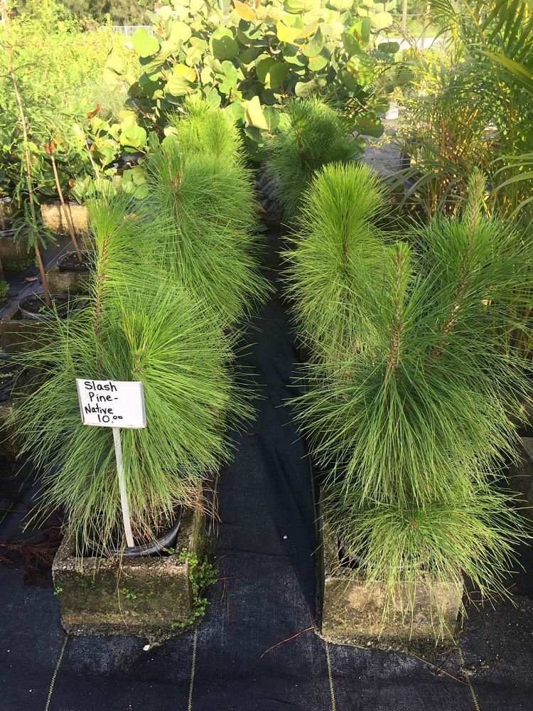 pinus-elliottii-densa-densa-pine-south-florida-slash-pine