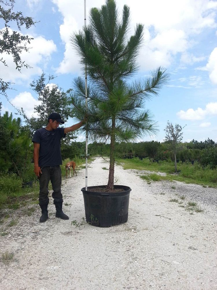 pinus-elliottii-improved-slash-pine