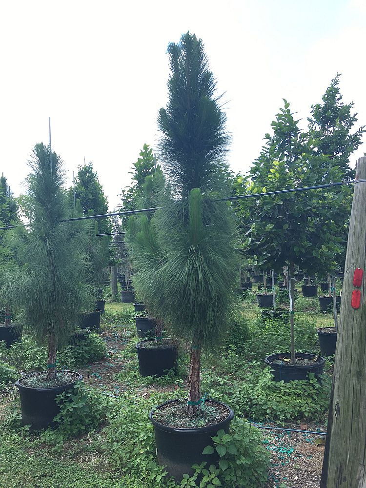 pinus-elliottii-slash-pine