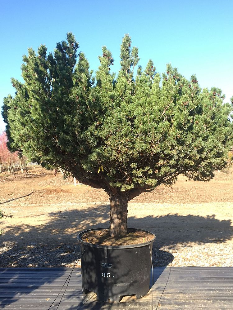 pinus-sylvestris-watereri-scotch-pine