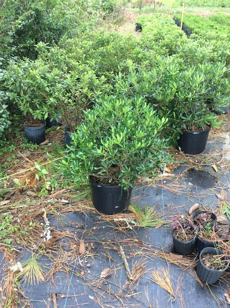 pittosporum-tobira-compacta-japanese-cheesewood