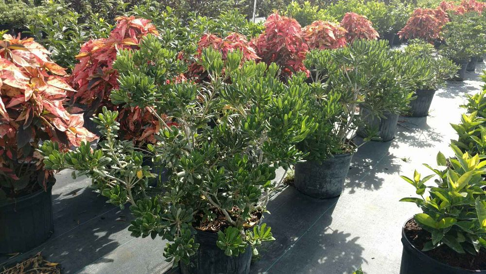 pittosporum-tobira-japanese-cheesewood