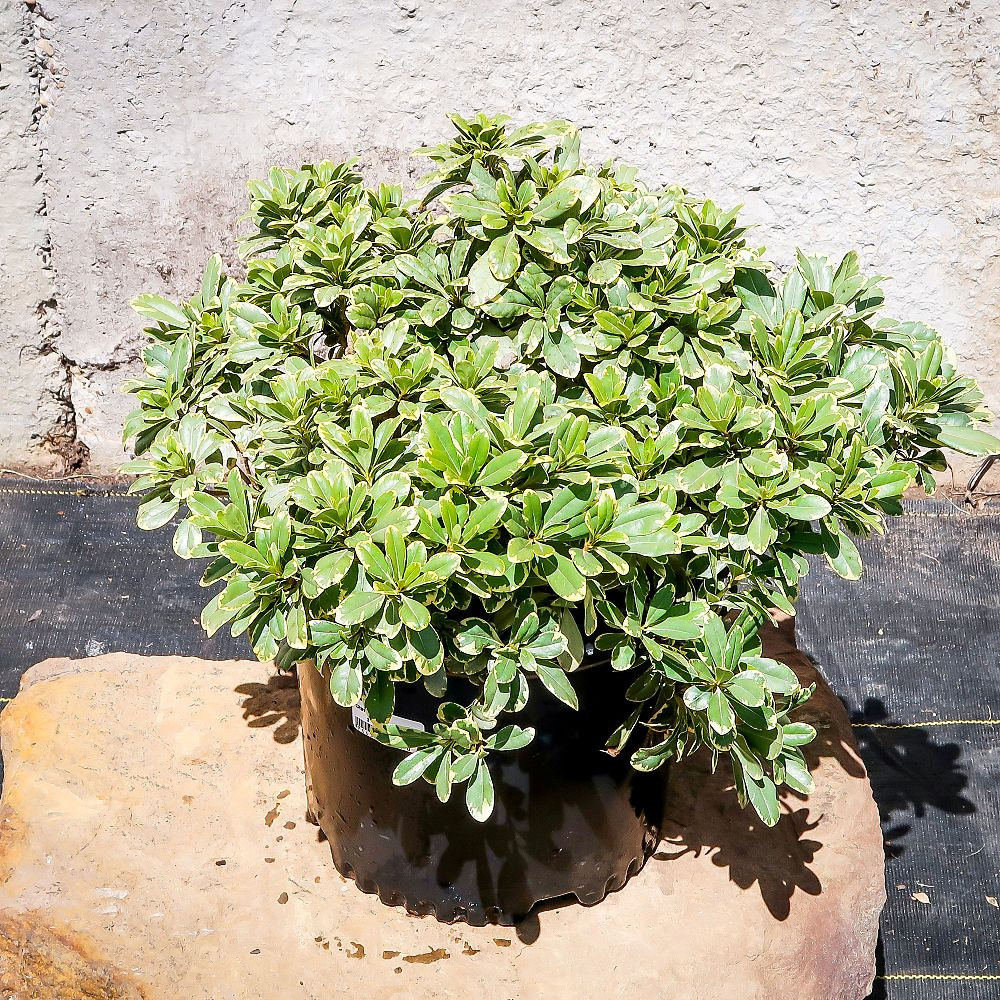 pittosporum-tobira-laura-lee-japanese-cheesewood-dwarf-variegated