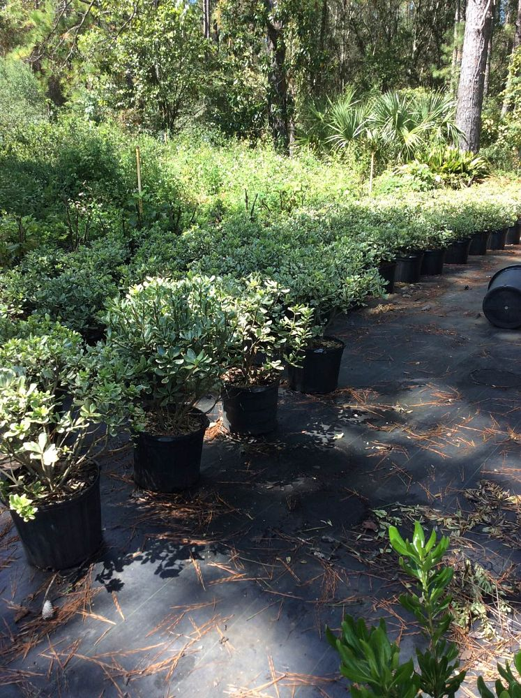 pittosporum-tobira-variegata-japanese-cheesewood