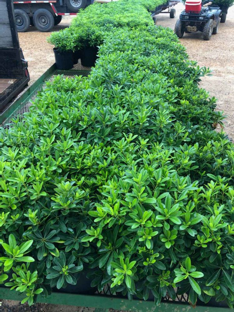 pittosporum-tobira-wheeleri-japanese-cheesewood-wheeler-s-dwarf-dwarf-green-pittsoporum