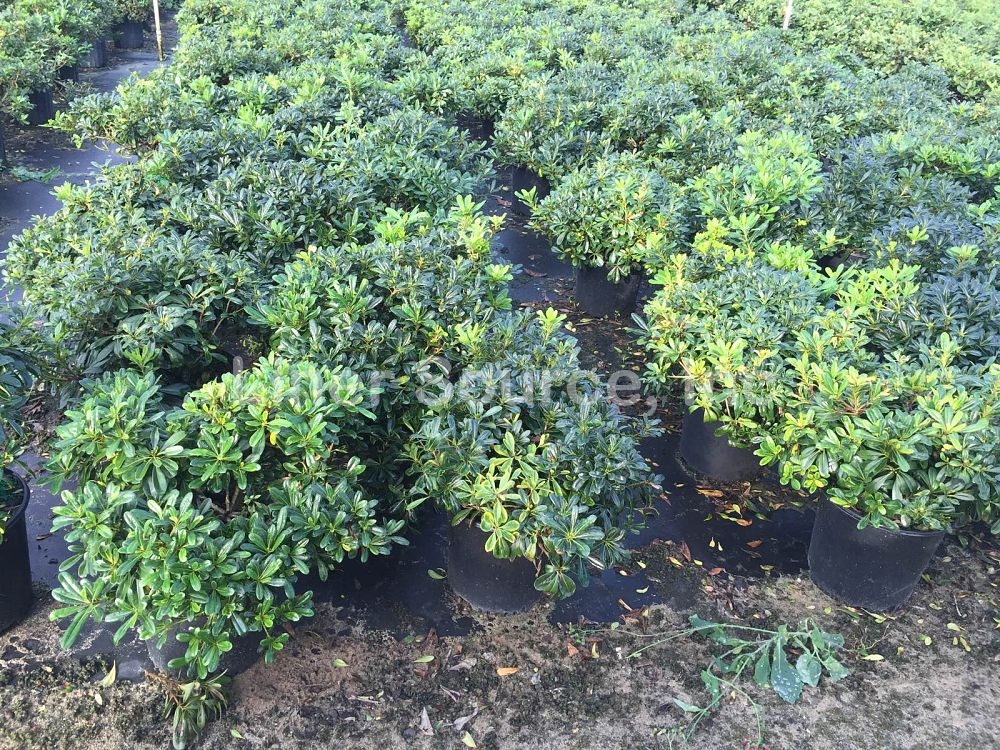 pittosporum-tobira-wheeleri-japanese-cheesewood-wheeler-s-dwarf