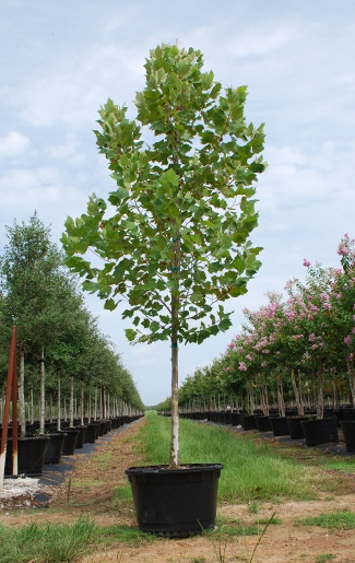platanus-mexicana-mexican-sycamore