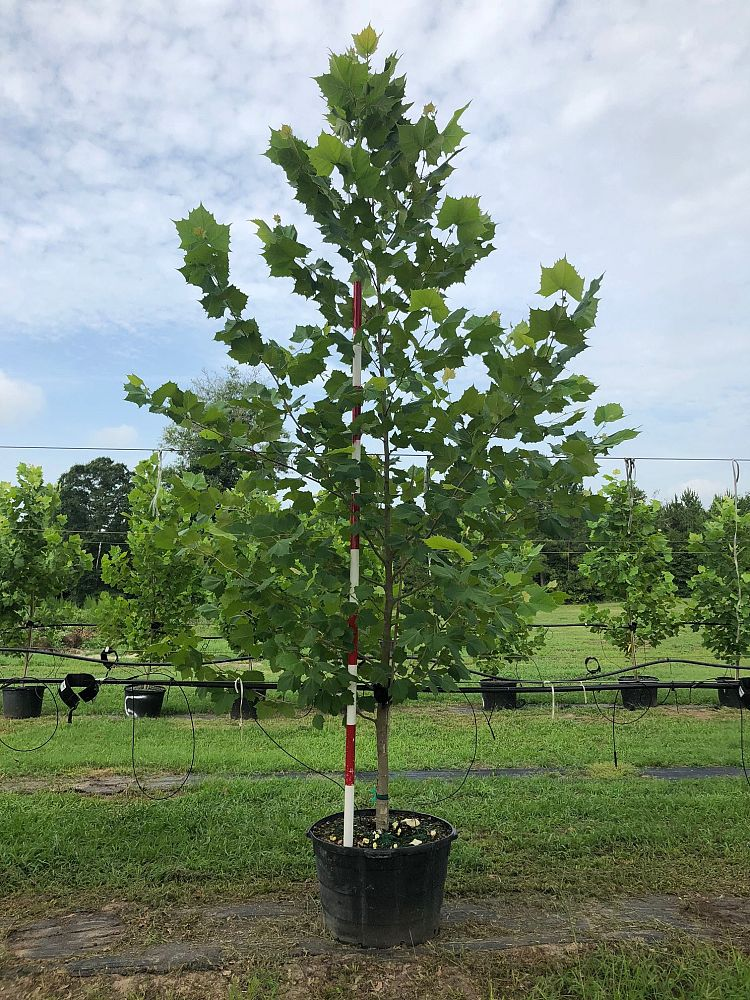 platanus-occidentalis-american-sycamore-texas-sycamore-plane-tree