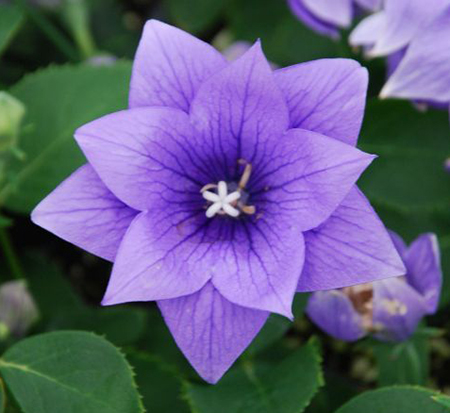 platycodon-grandiflorus-astra-blue-chinese-bellflower-japanese-bellflower-balloon-flower