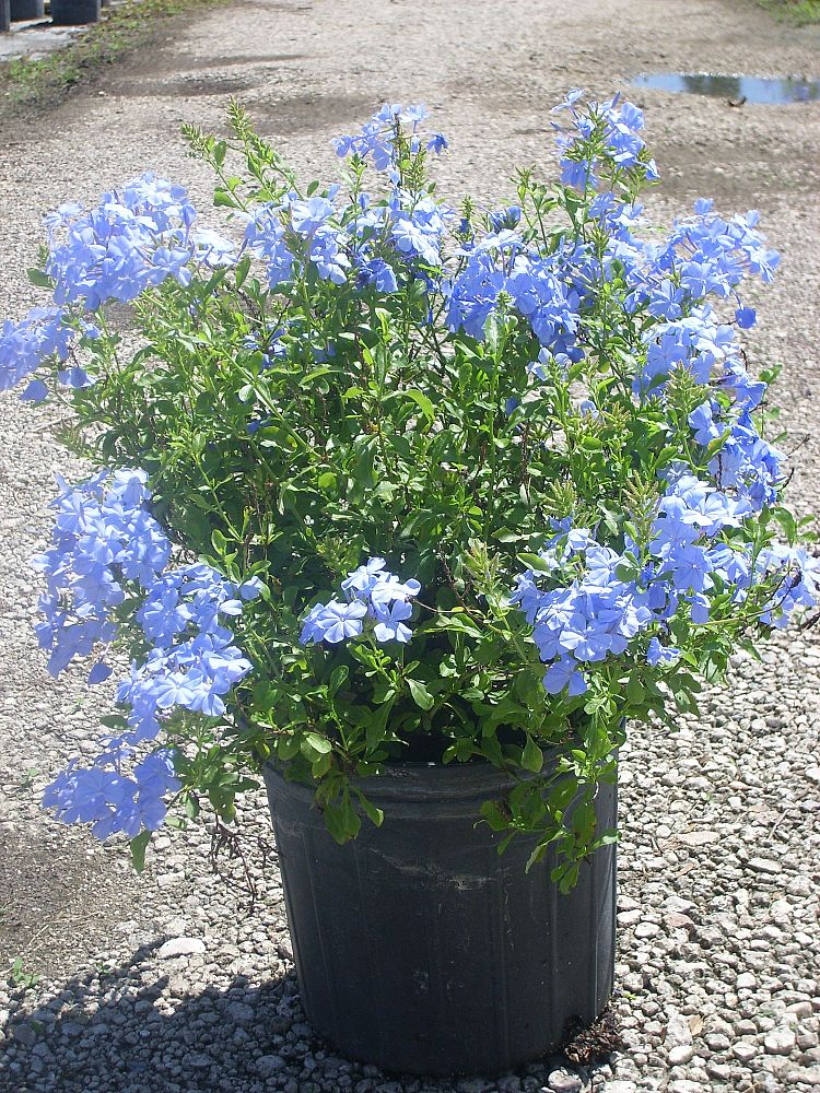 plumbago-auriculata-imperial-blue-cape-leadwort