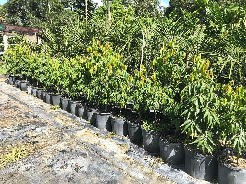 polyalthia-longifolia-pendula-mast-tree-false-ashoka-tree-sorrowless-tree