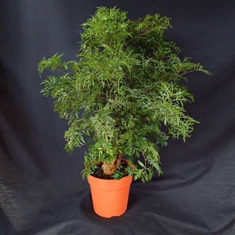 polyscias-fruticosa-elegans-parsley-aralia
